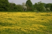 Buttercup Meadow, Oxfordshire